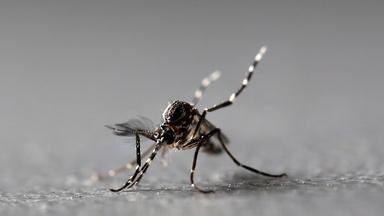 Florida has a dengue problem. More mosquitoes may solve it