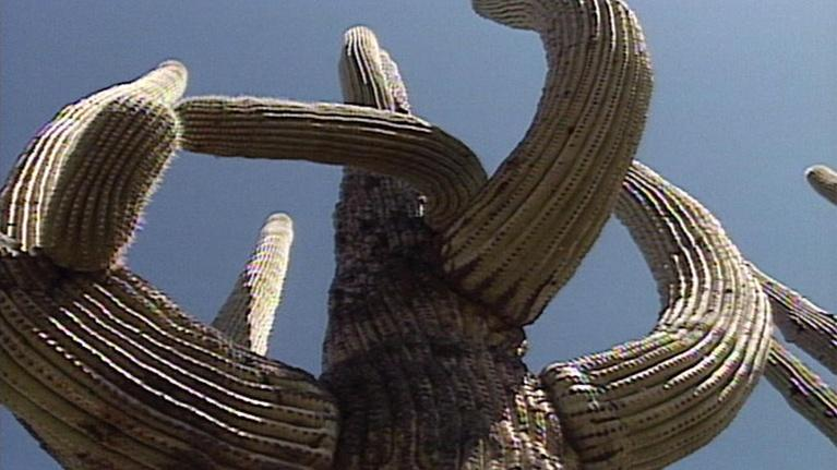 The Desert Speaks: Saguaro: King of the Cactus