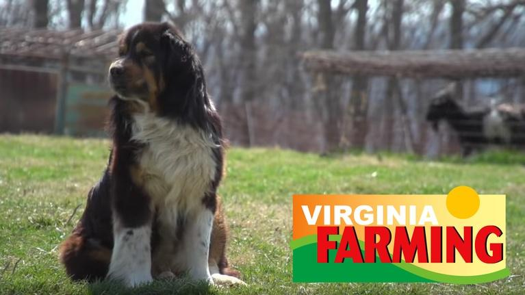 Virginia Farming: Working Dogs: Livestock Guardian Dogs