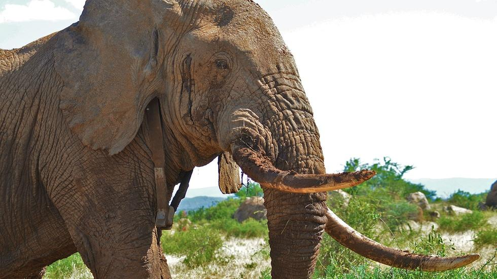 Encounter with a Musth Bull Elephant image