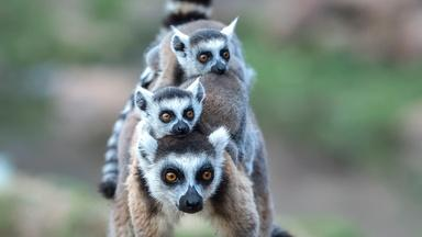 Ring-Tailed Lemurs Battle Tough Terrain Searching for Food