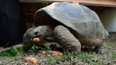 Rare -- Creature Clip: Aldabara Giant Tortoise