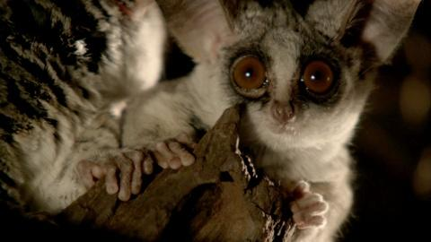 Nature -- Bushbaby Snacks on Insects