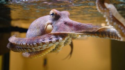 Nature -- Octopus: Making Contact