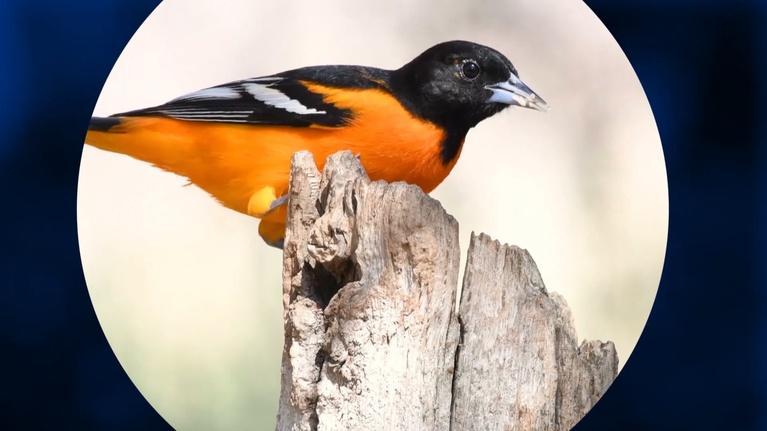 Vegas PBS: Join Celebrate Urban Birds