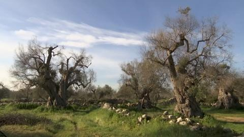 PBS NewsHour -- Disease threatens Italy's once booming olive oil industry