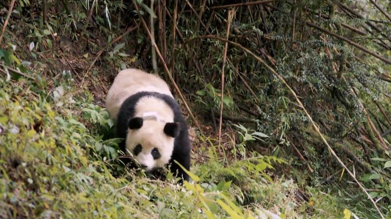 "Flicks: ""Pandas"""