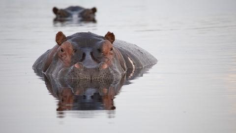 Nature -- Hippos: Africa's River Giants - Preview