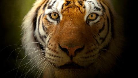 Nature -- The Truth About Tiger Populations