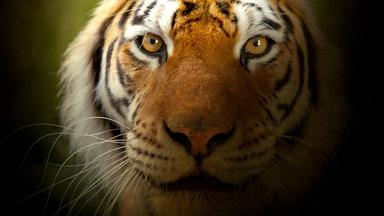 The Truth About Tiger Populations