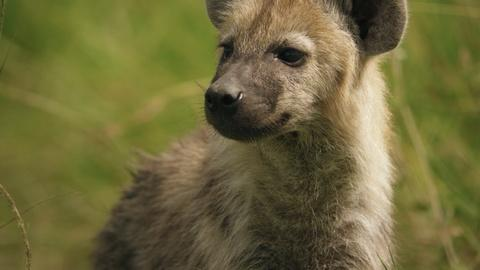 Hyena Sisters Learn How to Identify and Escape Threats