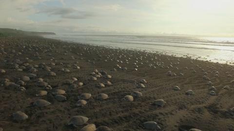 Big Pacific -- Olive Ridley Sea Turtle Arribada
