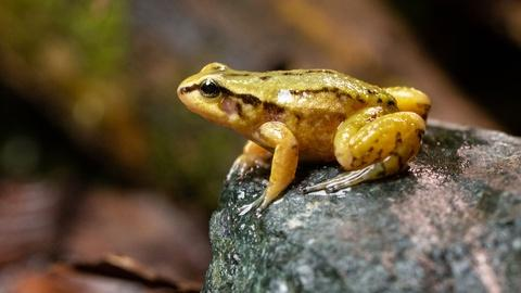 Meet One of the Rarest Frogs on Earth