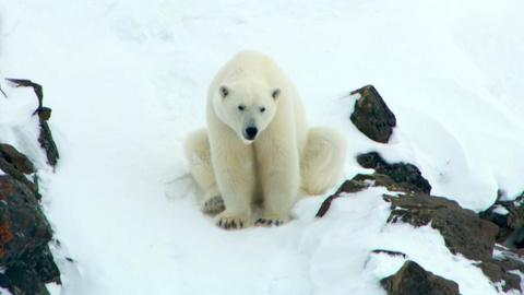 Nature -- Polar Bear Mom Creates Avalanche to Save Family