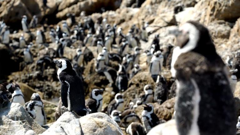 CET Community: Protecting Penguins: An Inside Look at Penguin Conservation