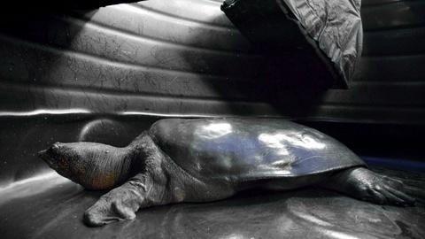 Rare -- Creature Clip: Yangtze Giant Softshell Turtle