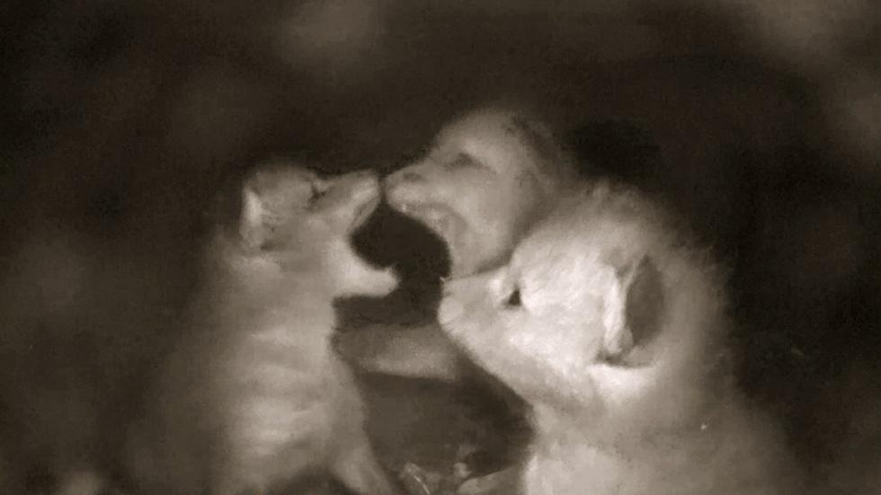 Young Foxes Fight for Social Dominance image