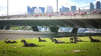 An Otter Family in Singapore Move Den for the First Time