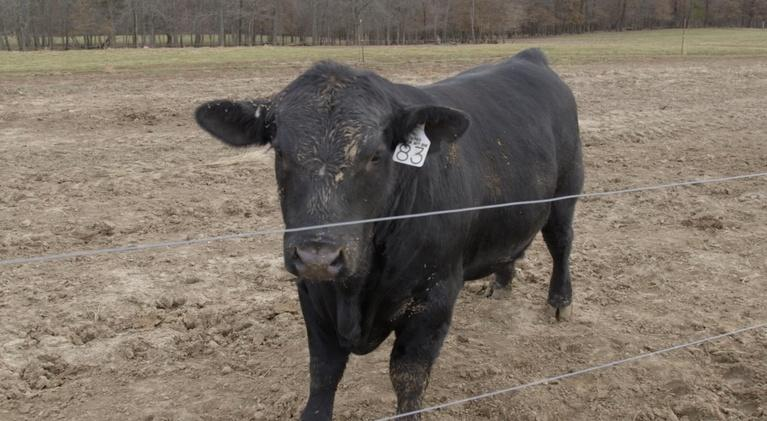 Show-Me Ag: Missouri Cattle Industry