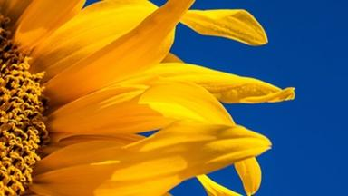 The Great Sunflower Project - English