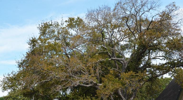 Central Texas Gardener: Why Trees are Key in Climate Change Challenge