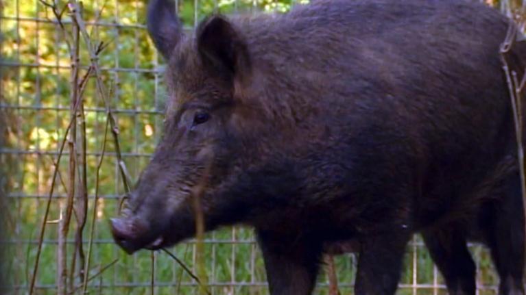 Show-Me Ag: Feral Hogs