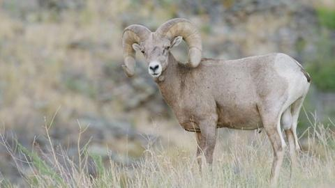 Nature -- The Biggest Threat to Bighorn Sheep