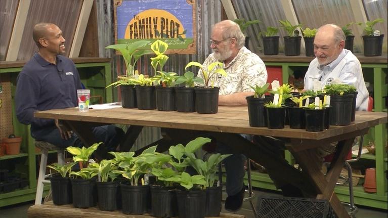 The Family Plot: Hostas & Soil Prep