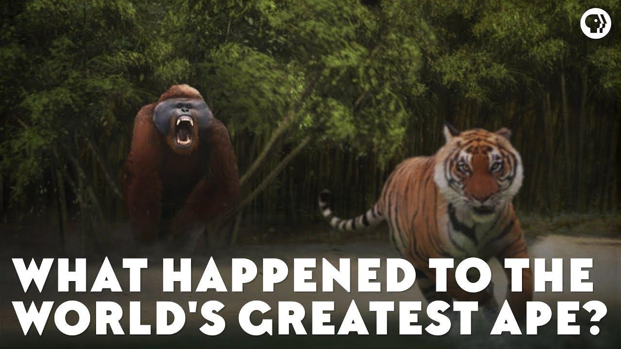 Free Ape Sex Videos eons   what happened to the world's greatest ape?   season 1