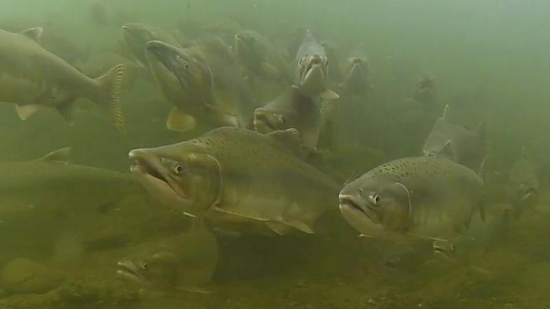Salmon Recovery - March 15, 2019
