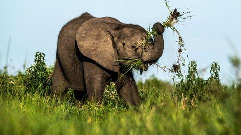 Nature -- Elephant Architects of the Okavango