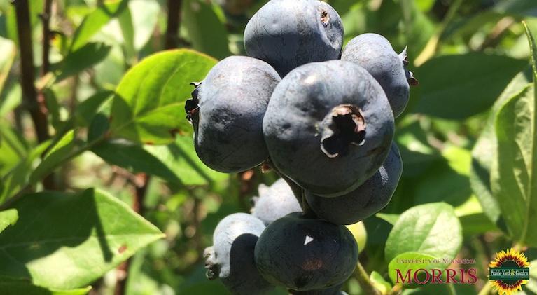 Prairie Yard & Garden: Blueberries