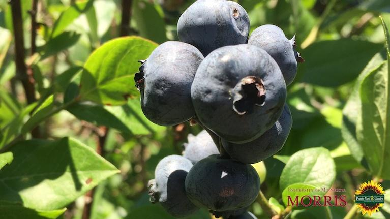 Prairie Yard & Garden: Blueberries