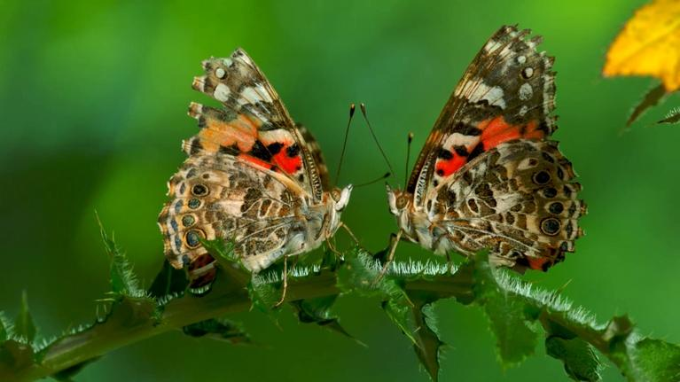 Nature: The Remarkable Way that Butterflies Mate