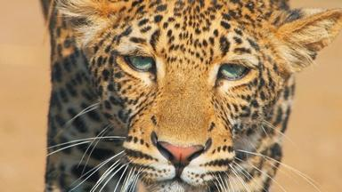 Young Leopard Learns How to Successfully Hunt