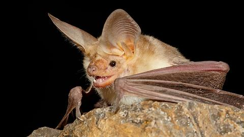 Wonders of Mexico -- Pallid Bats vs. Scorpions