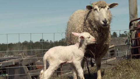 Nature -- Watch a Lamb Being Born