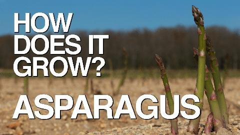 How Does It Grow -- Asparagus