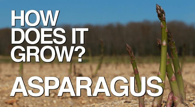 How Does It Grow: Asparagus