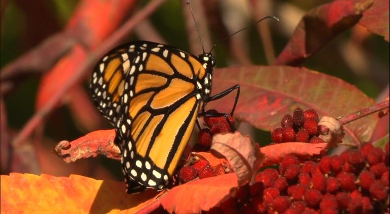 Colores: Monarch Butterflies in New Mexico
