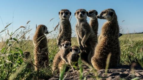 Nature -- Meerkats Meet Migrating Zebras