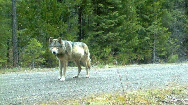 Idaho ranchers torn over livestock harm from gray wolves