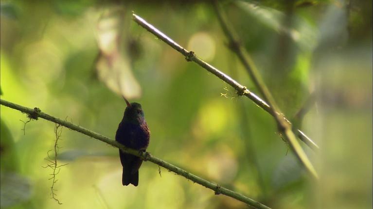 The Desert Speaks: Hummingbirds: From Desert to Jungle