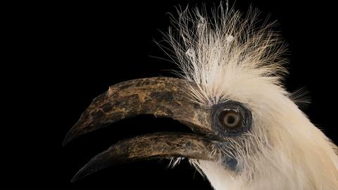 Rare -- Creature Clip: White Crowned Hornbill