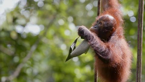 Nature -- Orangutan Orphans Learn to Climb