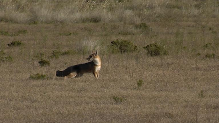 Texas Parks and Wildlife: Hunting Dogs, Swift Foxes & South Llano Leisure