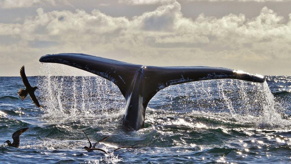 Humpback Whales off Southwest Ireland image