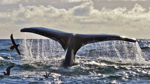 Humpback Whales off Southwest Ireland