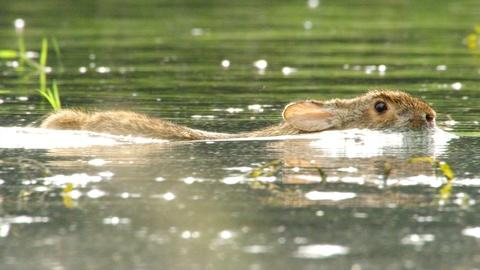 Nature -- Swimming Rabbits Caught on Camera