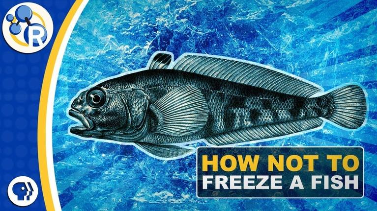 Reactions: Why Don't Antarctic Fish Freeze to Death?